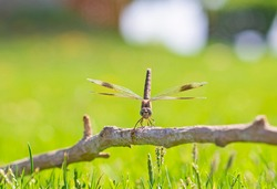 Closeup macro detail of wandering glider dragonfly Pantala flavescens on wooden twig branch above grass in garden