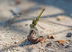 Closeup macro detail of wandering glider dragonfly Pantala flavescens perched on a stone