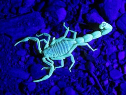 closeup/macro of an european common yellow scorpion and his exoskeleton called the cuticle, Buthus occitanus, glowing under UV/ultraviolet radiation,light.
