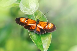 Closeup macro of  Heliconius melpomene butterfly. Wild red orange insect animal sitting on green leaf in garden park outside. Common postman butterfly species in natural habitat.