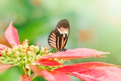 Closeup macro of  Heliconius melpomene butterfly. Wild red orange insect animal sitting on red flower in garden park outside. Common postman butterfly species in natural habitat.