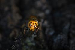 Closeup macro of Japanese giant hornet face
