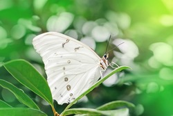 Closeup macro of  Polyphemus white morpho butterfly. Wild beautiful light insect sitting on green plant in garden park outside. Beauty in nature animals. Wildlife fauna species in natural habitat.