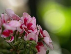 Closeup macro of wild rose pink petal regal pelargonium flowering plant in green nature Aguas Calientes Peru South America