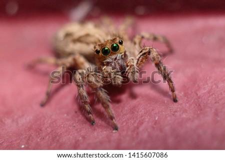 "Closeup Macro picture of a common jumping spider found in Kerala , India with scientific name ""Menemerus Bivittatus"" in Magenta background."