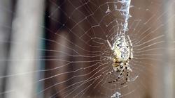 Closeup macro shot of a European garden spider sitting in a spider web. Cross spider, Araneus diadematus