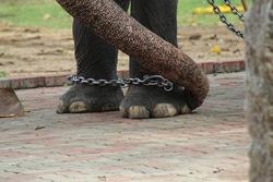 Closeup Magnificent view of Foot of Jumbo Elephant in Guruvayur temple