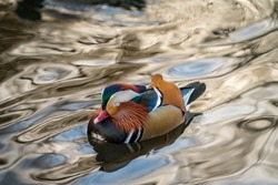 Closeup male mandarin duck Aix galericulata swimming and resting on the water with reflection. A beautiful bird living in the wild