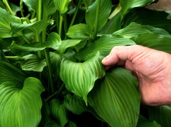 Closeup man's hand holding and inspecting garden green hosta plant leaf, bugs, pests, disease, inspection, healthy plants