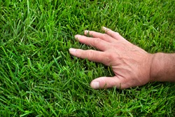 Closeup man's hand inspecting green grass lawn, healthy tall fescue, water, watering, damaged grass, new over seed grass, fertilizer application, thick grass, caring for your lawn, no weeds, weeding