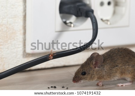 Closeup mouse sits near chewed wire  and electrical outlet in an apartment kitchen . Inside high-rise buildings. Fight with mice in the apartment. Extermination. Small DOF. - Shutterstock ID 1074191432