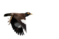 Closeup Mynah Bird Flying in The Air Isolated on White Background with Copy Space