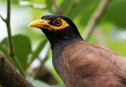 Closeup Mynah Bird Isolated on Nature Background