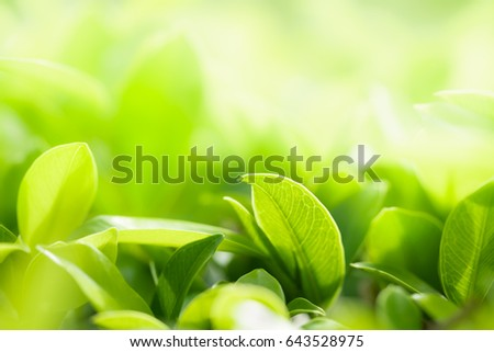 Closeup nature view of green leaf in garden at summer under sunlight. Natural greenery plants landscape to be used as a background or wallpaper. #643528975