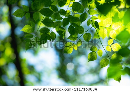 Closeup nature view of green leaf on sunlight with copy space using as background concept #1117160834