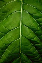 closeup nature view of green leaf texture, dark wallpaper concept,