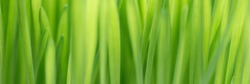 Closeup nature view of spring green grass backround lawn natural. leaf in sunlight, image of purity and freshness of nature, copy space. macro. ecology, fresh wallpaper concept. banner ready