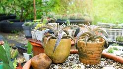 Closeup Neoregelia with Cactus Plant,, Growing Cactus or Succulents, Cactus Plant in Garden,
