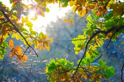 closeup oak tree branch in a forest with varicoloured dry leaves, beautiful autumn outdoor background