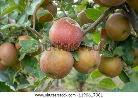 closeup of a apple tree with ripe apples (boskoop)