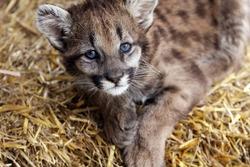 Closeup of a baby Cougar laying down and staring at the camera.
