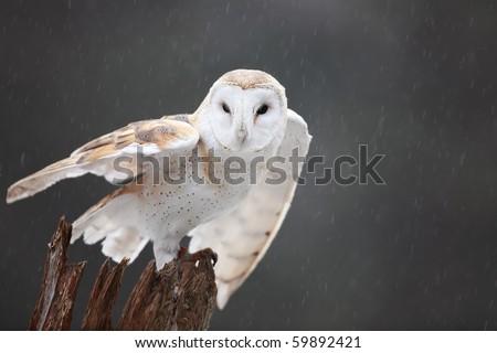 Closeup of a Barn Owl ready to take flight.