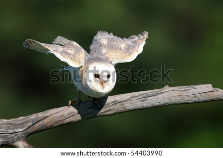 Closeup of a Barn Owl taking off from a natural perch.