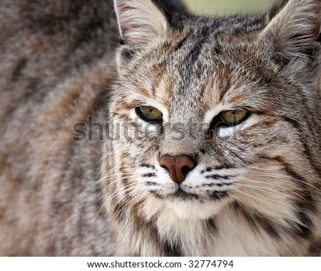 Closeup of a beautiful Bobcat.