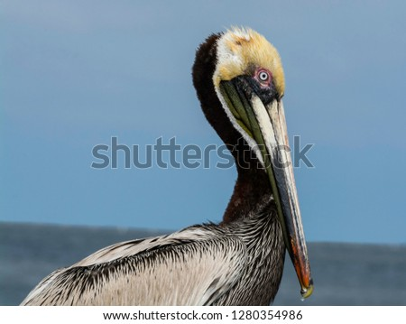 Closeup of a beautiful brown pelican in Florida.  Their eyes and feathers are truly beautiful when you look at them up close.