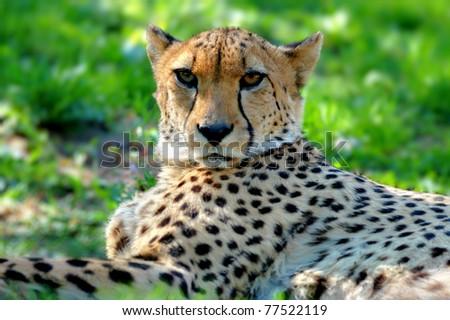 Closeup of a beautiful cheetah