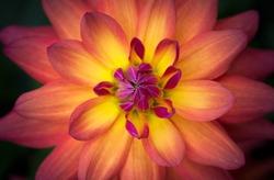 Closeup of a Beautiful Dahlia Flower in Yellow Orange Pink, soft focus