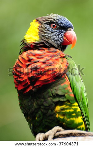 Closeup of a beautiful rainbow lorikeet perched on tree branch