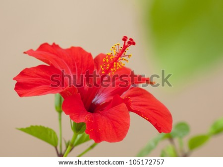 Closeup of a beautiful red hibiscus flower with five stamens