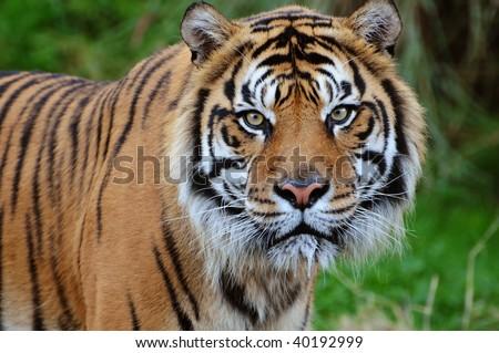 Closeup of a beautiful Sumatran tiger staring at the camera, saliva dripping from its jaws