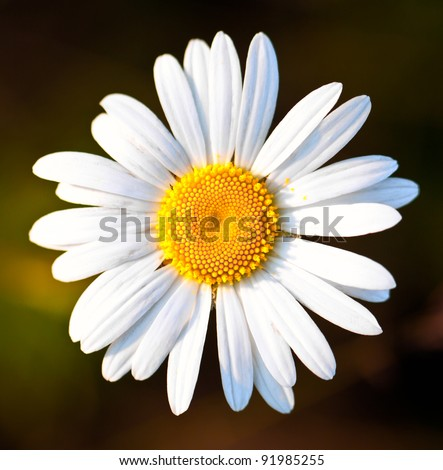 Margueritedaisy Flowers on Of A Beautiful Yellow And White Marguerite  Daisy Flower   Stock Photo