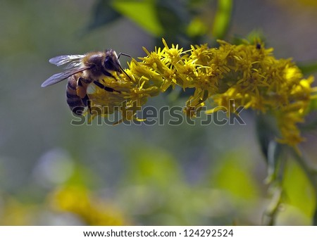 closeup of a bee working on a yellow flower