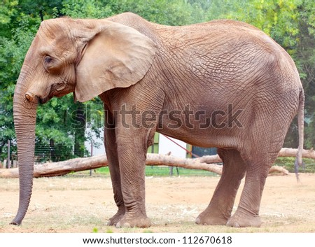 Closeup of a big african elephant with green and trees in the background.