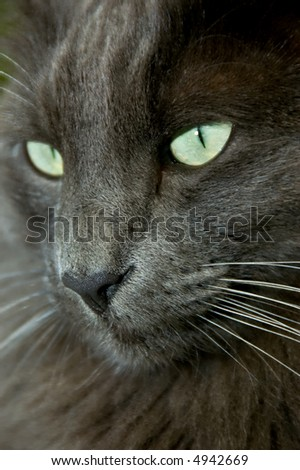 Closeup of a big blue Norwegian Forest Cat - stock photo