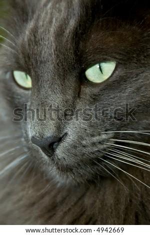 Closeup of a big blue Norwegian Forest Cat