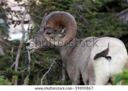 Closeup of a Bighorn Sheep.