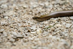 closeup of a blindworm on a gravel road in bavaria, germany
