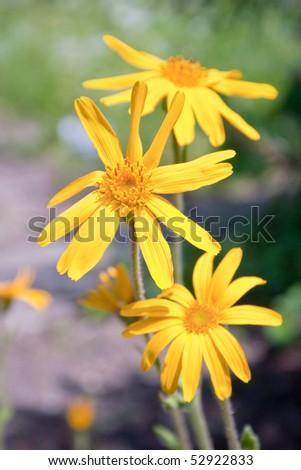 Closeup of a blooming arnica in a garden - outdoor shot