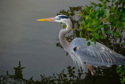 Closeup of a blue heron by the waterside with negative space for text