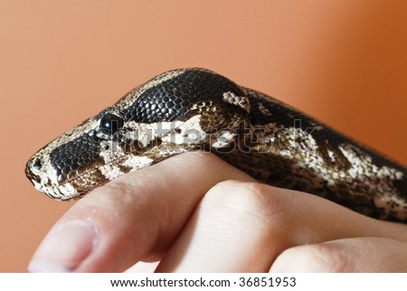 closeup of a Boa constrictor in a hand