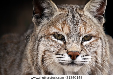 Closeup of a Bobcat against a blurred background.