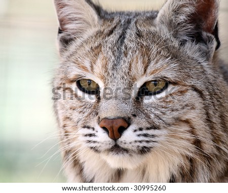 Closeup of a Bobcat hunting his prey.
