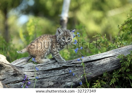 Closeup of a Bobcat kitten against a blurred background.