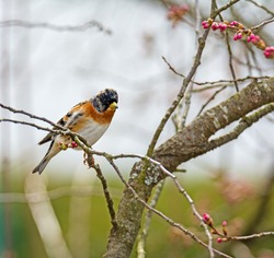 Closeup of a brambling bird on the twig of a tree