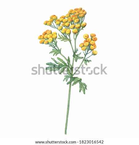 Closeup of a branch of the field Tansy flower (Tanacetum vulgare also known as bitter buttons, cow bitter, or golden buttons). Watercolor hand drawn painting illustration isolated on white background.