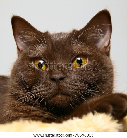 Closeup of a british brown cat with yellow eyes.